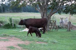 Milking Devon